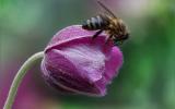 o pčelama